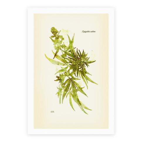 Cannabis Botanical Illustration Poster