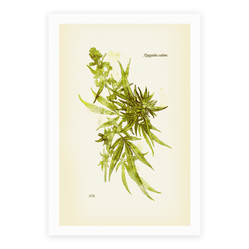 Cannabis Botanical Illustration Poster