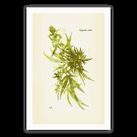 Cannabis Botanical Illustration